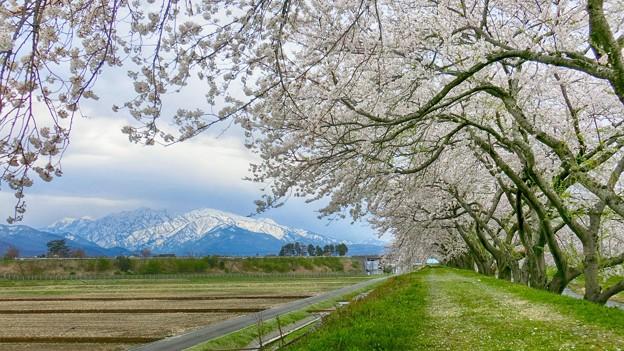 桜の片洞門