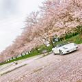 写真: 桜絨毯