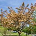 Photos: 黄緑の桜