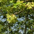 三刀屋川の御衣黄桜