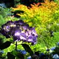 木漏れ日に紫陽花