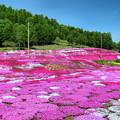 写真: 三島さんの芝ざくら庭園