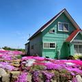 写真: 三島さんの芝桜