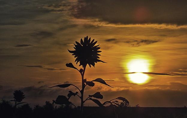 晩夏早朝の向日葵