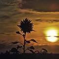写真: 晩夏早朝の向日葵