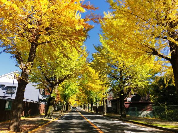 Photos: 天理市の銀杏