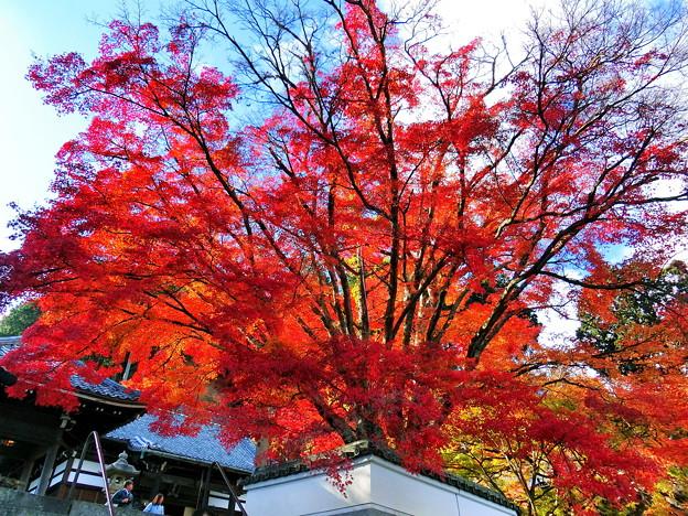 まるで紅葉の噴火のような…