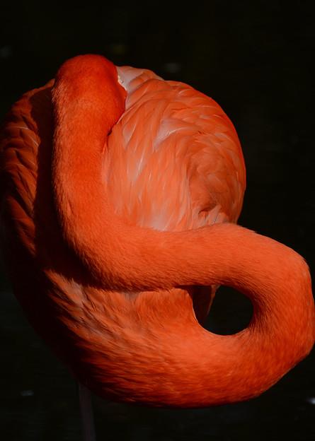 フラミンゴの輪