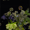 シャボンの花