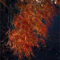 写真: 枝垂れ紅葉