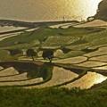 棚田 稲が育っています
