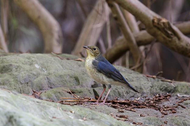 コルリ若鳥 2