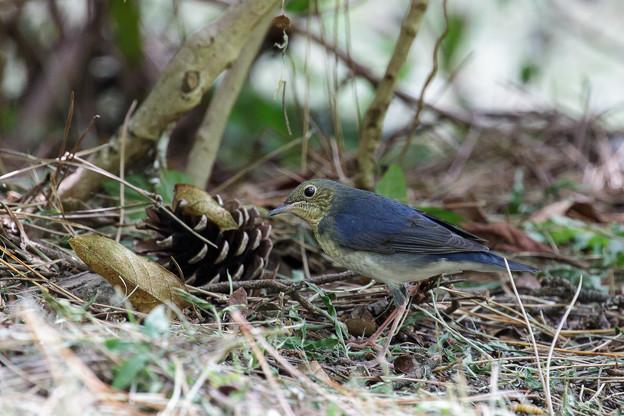 コルリ若鳥 1