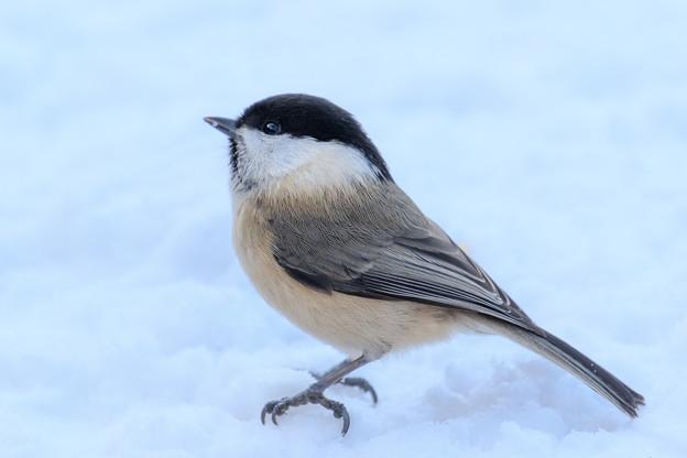金剛山の野鳥 4