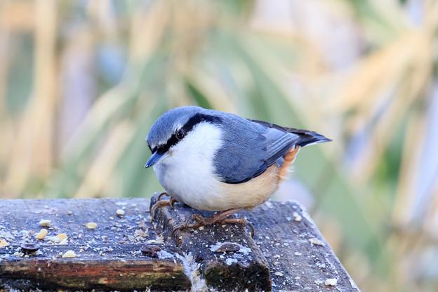 金剛山の野鳥 2