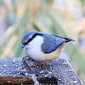写真: 金剛山の野鳥 2