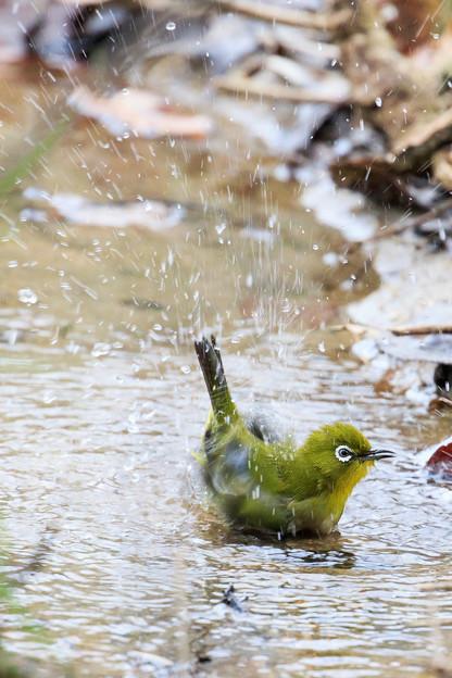 メジロの水浴び