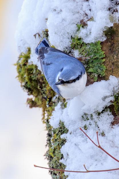 金剛山の野鳥2-3