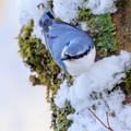写真: 金剛山の野鳥2-3