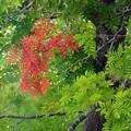 写真: 紅葉の準備