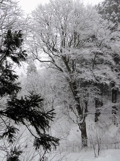 凍てつく樹氷