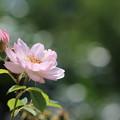 初夏のバラ