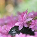6月のピンク