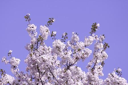20110414昭和記念公園_桜01