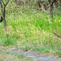 写真: 雉のツーショット~