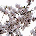桜にメジロが沢山~