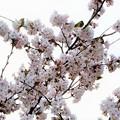写真: 桜にメジロが沢山~