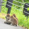写真: 堂々としたお猿さん