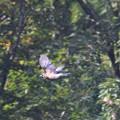 写真: カケスの飛翔!