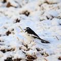 写真: 雪が降っても元気!