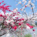 やんばい土手通りの花桃