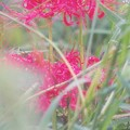 写真: 小雨に煙る彼岸花
