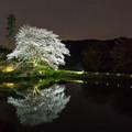 ジラカンス桜 2