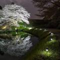 ジラカンス桜 3