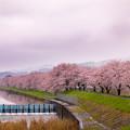 流川の桜並木 2
