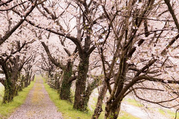 流川の桜並木3