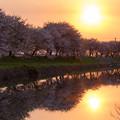 流川の桜並木 夕景