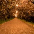 流川の桜並木 ライトアップ 2