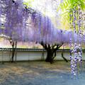 藤山神社  藤の花  2