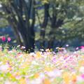 写真: 展海峰 コスモス畑