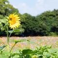 写真: 展海峰 コスモス畑 2