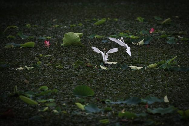 写真: 舞鷺