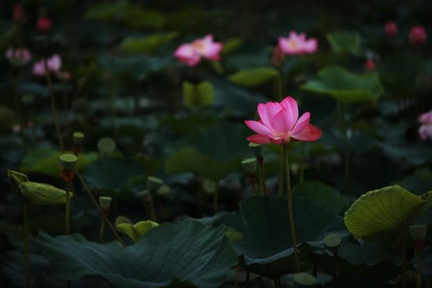 Photos: 蓮の季