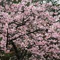 1355 路肩の桜