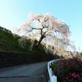 1357 岩太郎桜