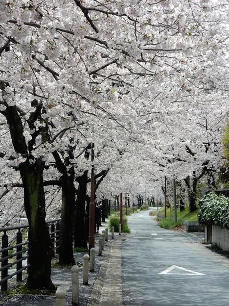 写真: DSCN1740 桜並木